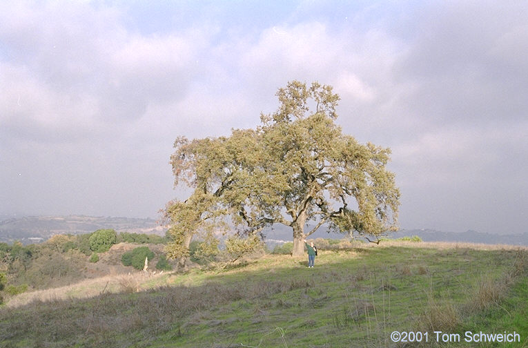 Oak tree in the hills at Almaden.