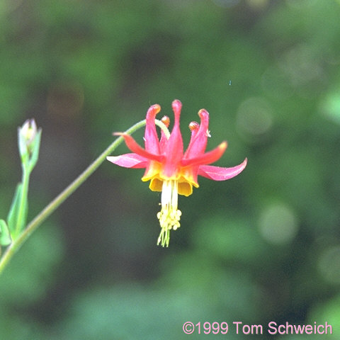 Western columbine (<I>Aquilegia formosa</I>) growing in my garden.