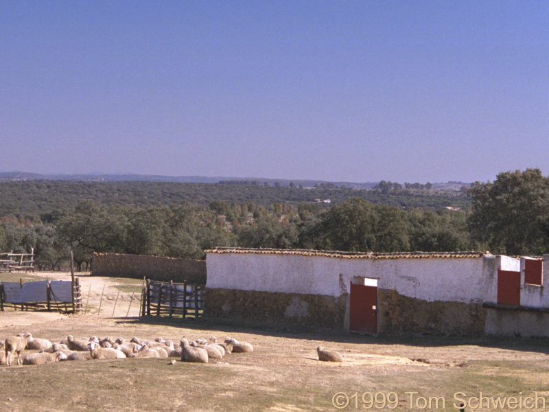Sheep in corral, north of Sevilla.