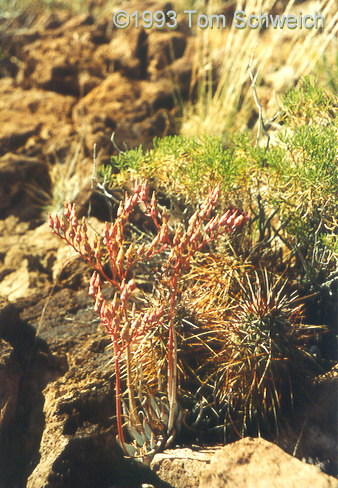 <I>Dudleya saxosa</I> ssp. <I>aloides</I> at Bonanza King Canyon.