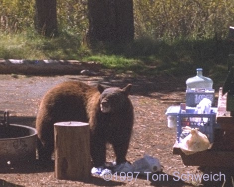 Bear finishing lunch.