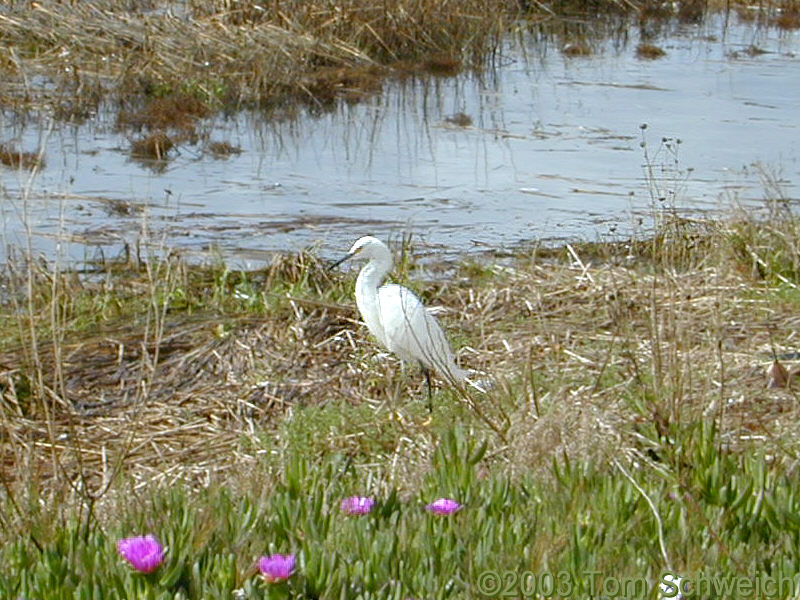 Egret in Elsie Roemer Bird Sanctuary.