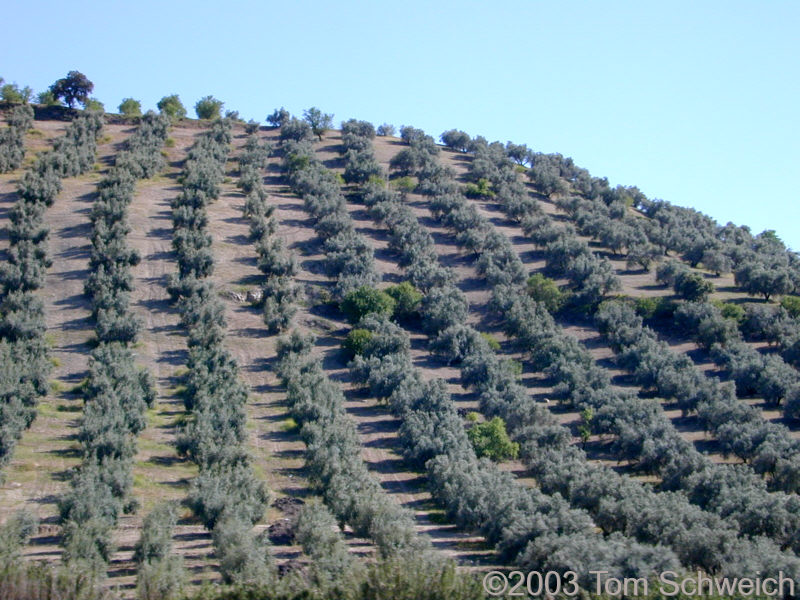 Olive trees on a hillside between Sevilla and Granada.