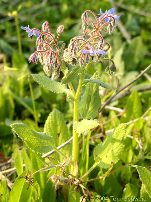 <I>Borago officinalis</I> L. in Bormujos (Sevilla), Spain