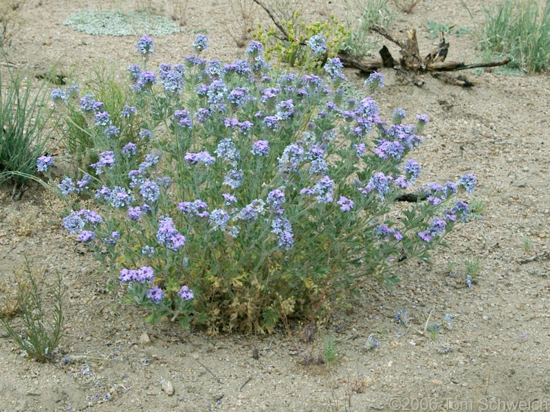 Verbenaceae Verbena gooddingii, Mojave National Preserve, San Bernardino County, California