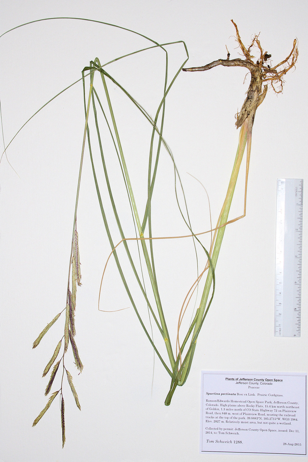 Poaceae Spartina pectinata