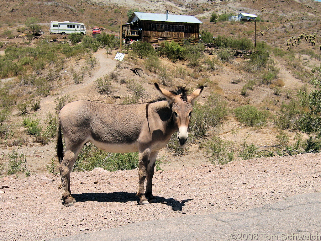 Arizona, Mohave County, Oatman, Burro