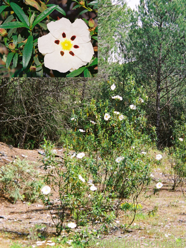 <I>Cistus</I> sp. common in the understory.