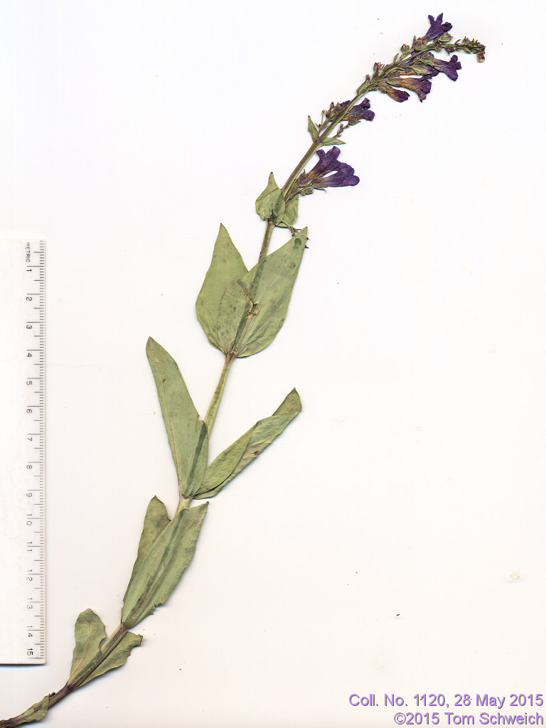 Plantaginaceae Penstemon secundiflorus