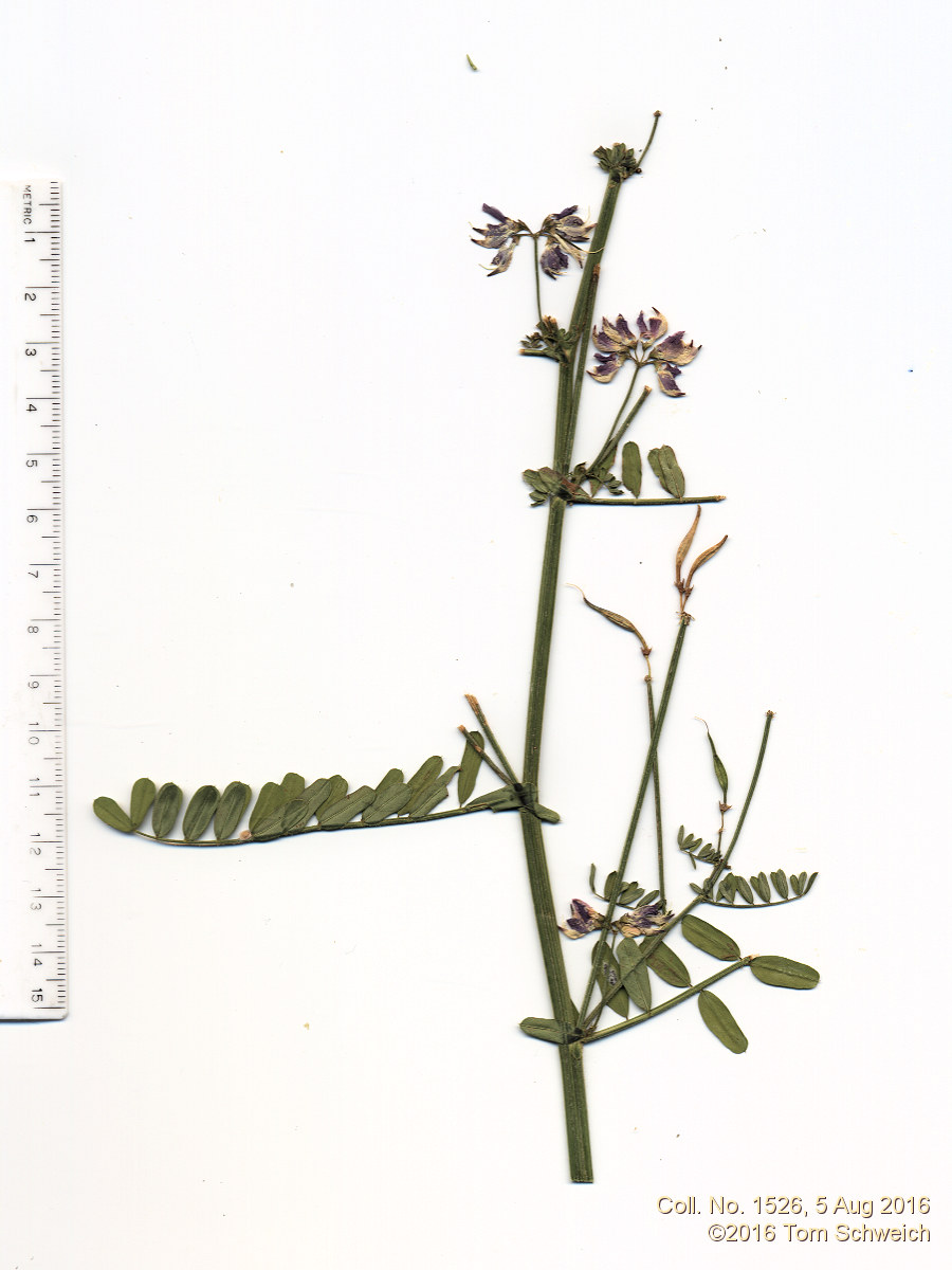 Fabaceae Securigera varia