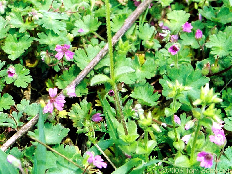 Cranesbill (<I>Erodium</I> sp.) in Barranco del Poqueira.
