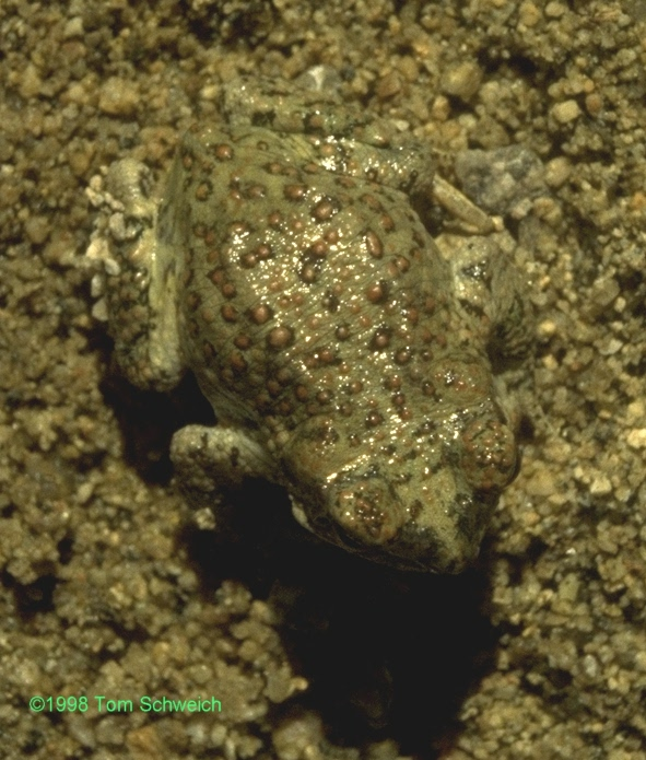 Red-spotted toad (<i>Bufo punctatus</i>)