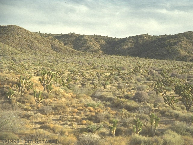 Vegetation, Cedar Canyon Road, Mojave National Preserve, California